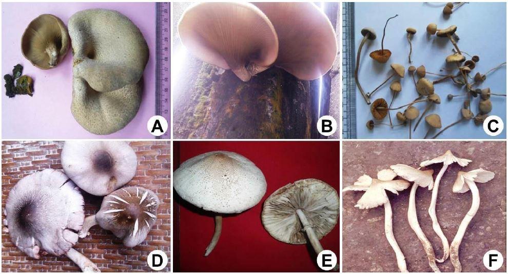 Some edible macro fungi: A, Lentinus polychrous; B, Lentinus polychrous growing on dead Sal wood; C, Stropharia semiglobata; D, Volvareilla volvacea; E, Agaricus semotus; F, Termitomyces eurrhizus.