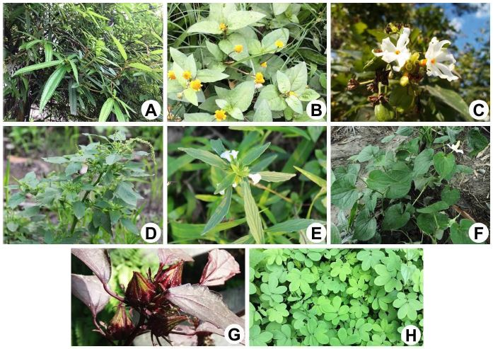 Some ethnobotanically used food plants: A, Sarcochlamys pulcherrima; B, Spilanthes paniculata; C, Nycthanthus arbor-tristis; D, Amaranthus spinosus; E, Leucas aspera; F, Houttuynia cordata; G, Hibiscus subdarifa; H, Cassia tora.