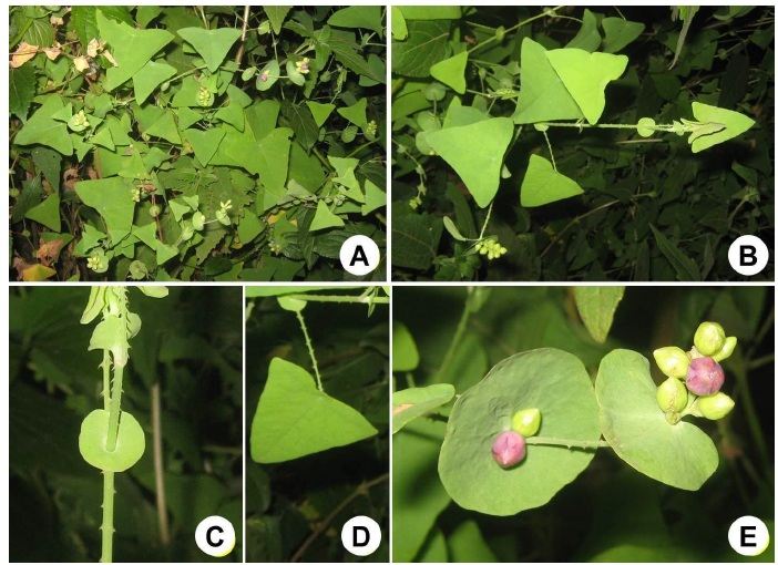 Persicaria perfoliata (L.) H. Gross: A, Habit; B, Young branch; C, Node is showing perfoliate ocrea and sprickles on both stem and petiole; D, Leaf; E, Fruiting.