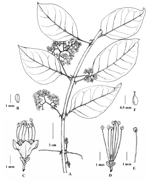 Pisonia aculeata L. (Male plant): A, A portion of flowering twig; B, Floral bract; C, Flower; D, Stamens surrounding rudimentary carpel; E, Stamen; F, Rudimentary carpel; [A–F: R.K. Premnath 8451(CAL)].