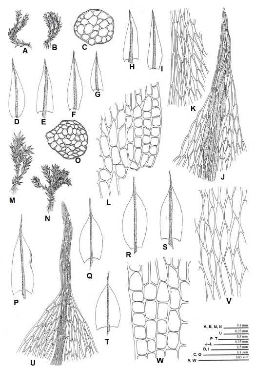 A–L, Brachymenium bryoides Hooker ex Schwägr. (A,B, vegetative plants; C, cross section of axis; D–I, leaves; J, apical leaf cells; K, median leaf cells; L, basal leaf cells); M–W, Brachymenium sikkimense Renauld & Cardot. (M,N, vegetative plants; O, cross section of axis; P–T, leaves; U, apical leaf cells; V, median leaf cells; W, basal leaf cells).