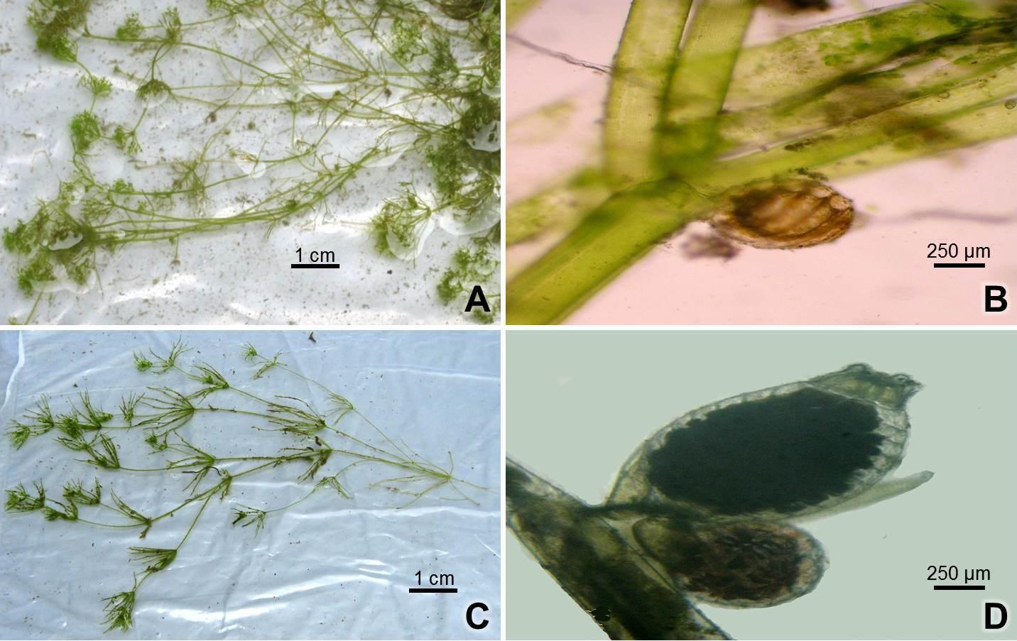 Nitella flagelliformis: A, plant body; B, globule and Chara braunii: C, plant body; D, sex organs (globule & nucule).