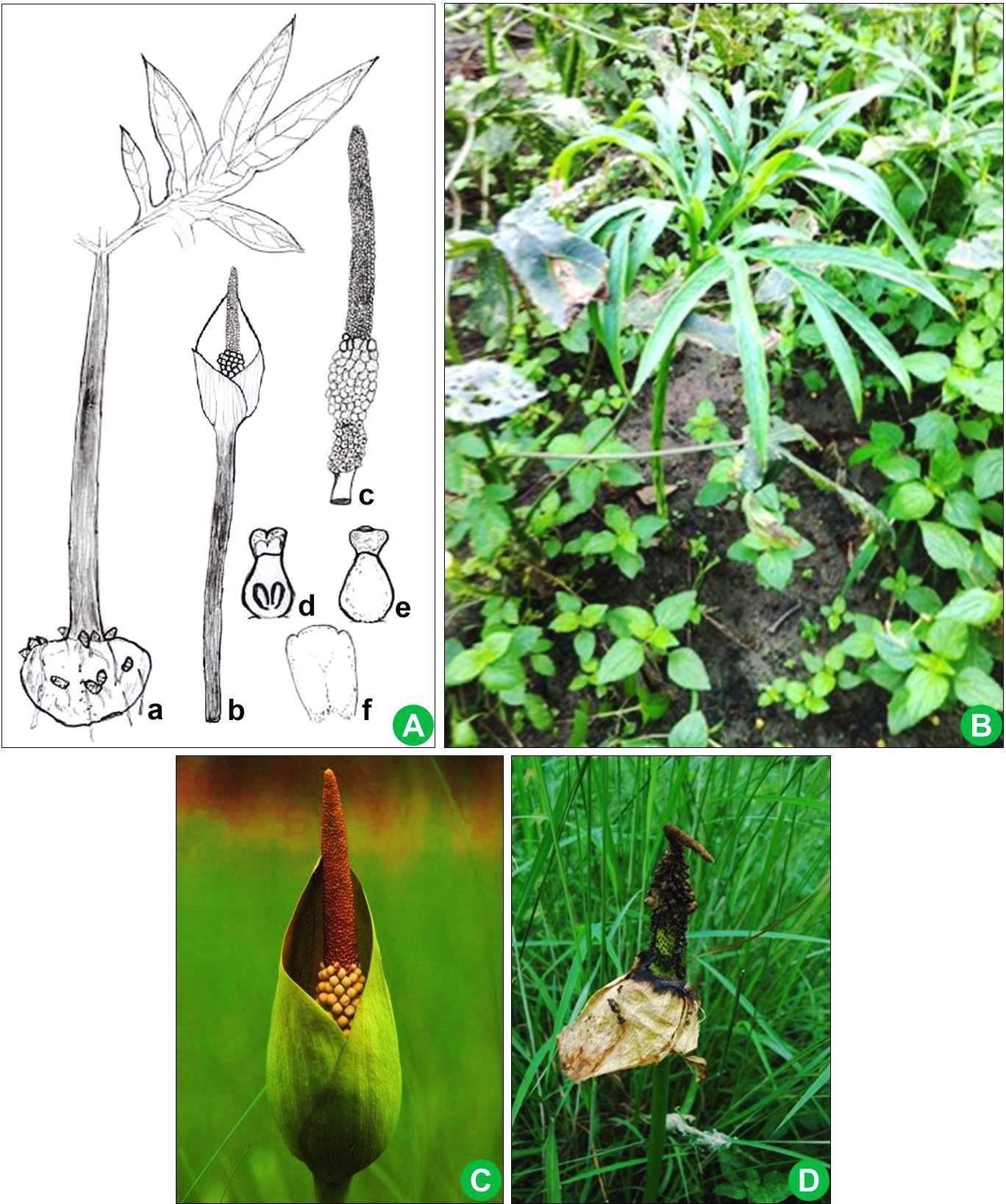 Amorphophallus margaritifer: A, Illustrations (a, Tuber with leaf; b, A mature peduncle with inflorescence; c, Inflorescence showing spadix, spathe removed and male and female flower zone; d, Female flower (L.S.); e, Single female flower; f, Male flower); B. A mature peduncle with lamina in its habitat; C, Spadix at mature stage; D, Inflorescence showing spadix.