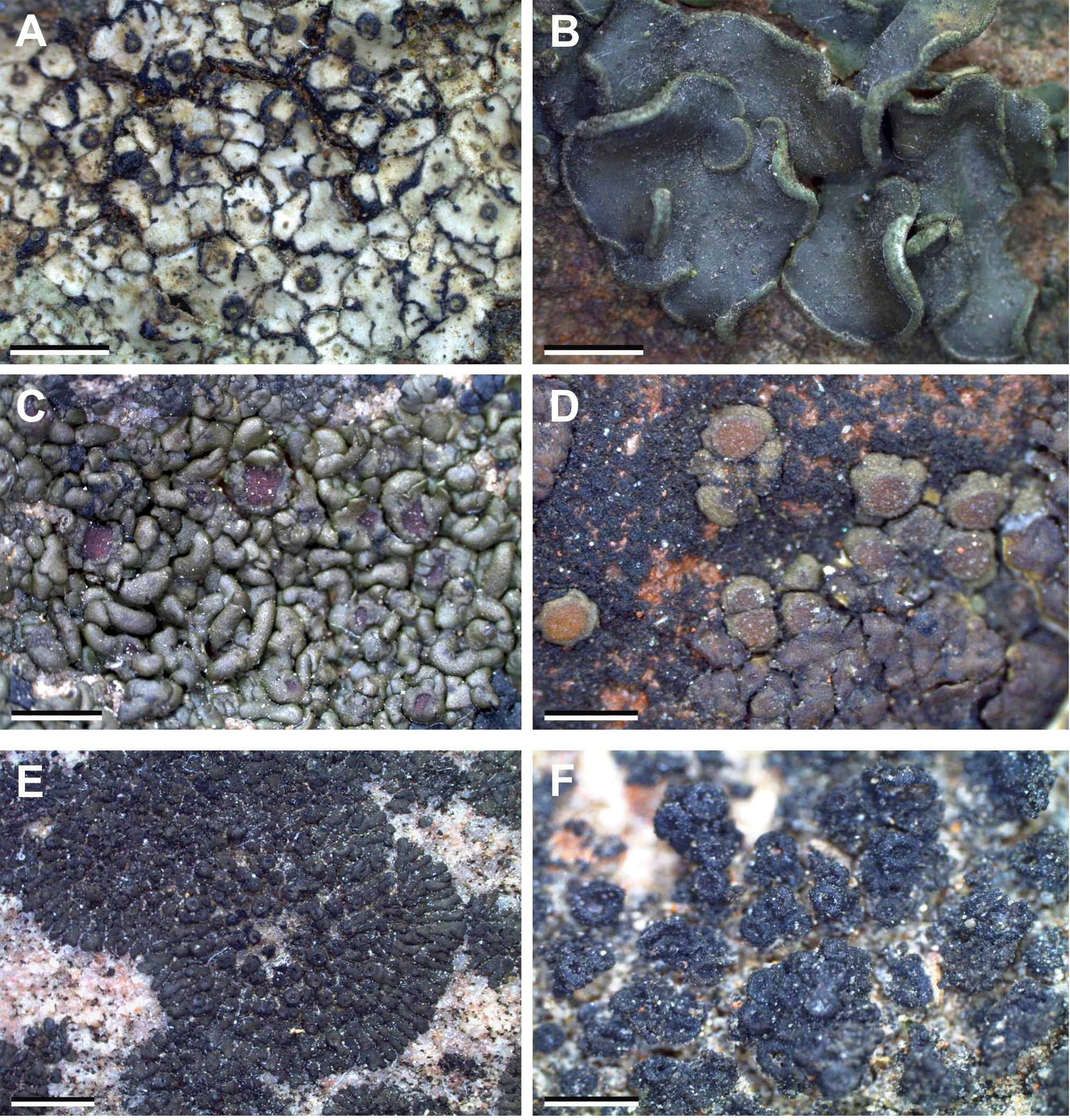 Some common lichen species reported from the study area: A, Endocarpon subrosettum Ajay Singh & Upreti; B, Peltula euploca (Ach.) Poelt in Pisut; C, Peltula obscurans (Nyl.) Gyeln.; D, Peltula patellata (Bagl.) Swinscow & Krog; E, Peltula placodizans (Zahlbr.) Wetmore; F, Phylliscum indicum Upreti. [Scale bars: A–F = 2 mm]