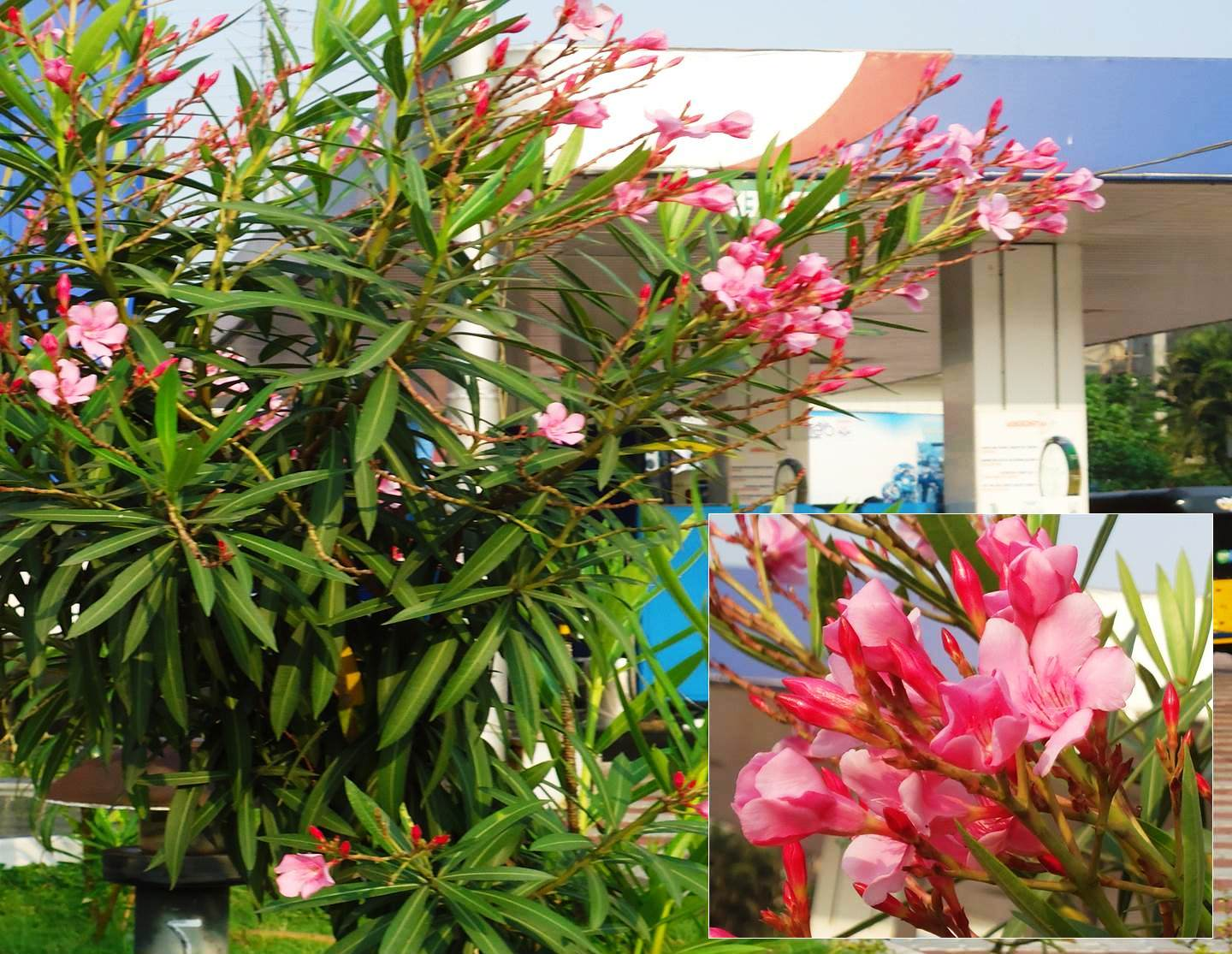 Nerium oleander L. plant in flowering condition.
