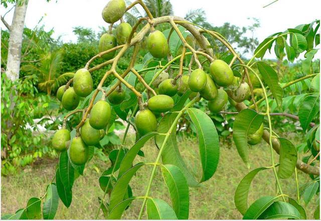Lapsi tree with their fruits cultivated at Champadevi Hill of Kirtipur, Kathmandu, Nepal.