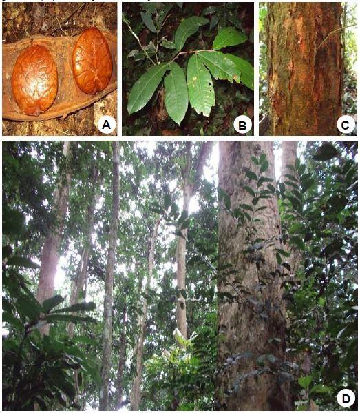 Gilbertiodendron dewevrei (De Wild.) J.Leonard: A, Seeds; B, Seedling; C, Stem with bark; D, Habitat.