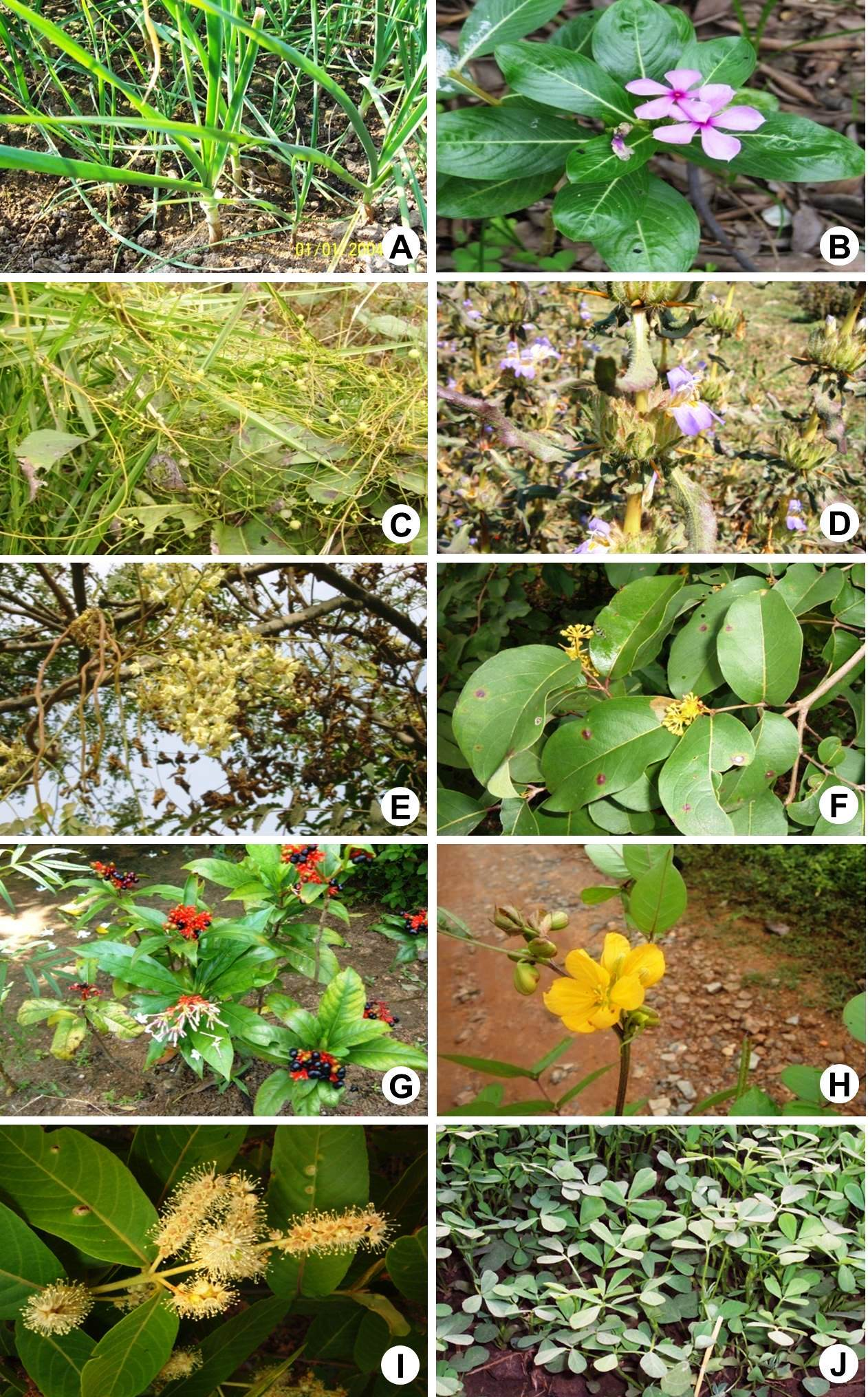 Plants used by the ethnic people for the treatment of high blood pressure.