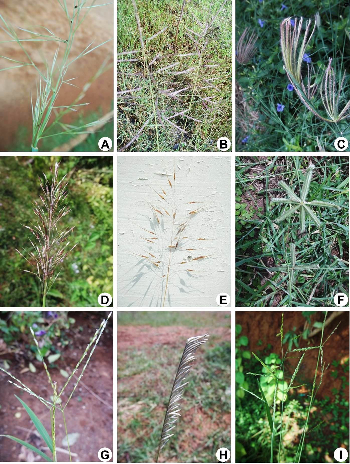 A, Aristida hystrix L.f.; B, Capillipedium  assimile (Steud.) A. Camus.; C, Chloris barbata Sw.; D, Chrysopogon aciculatus (Retz.) Trin.; E, Chrysopogon orientalis (Desv.) A. Camus.; F, Dactyloctenium aegyptium (L.) Willd.; G, Digitaria ciliaris (Retz.) Koeler.; H, Eragrostiella bifaria (Vahl) Bor.; I, Eriochloa procera (Retz) C.E. Hubb.