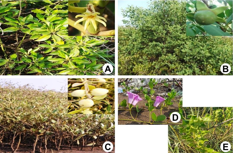 Some mangrove plants: A, Bruguiera gymnorhiza (L.) Lam.; B, Sonneratia apetala Buch.-Ham.; C, Avicennia marina (Forsk.) Vierh; D, Ipomoea pes-caprae (L.) R.Br.; E, Acanthus illicifolius L.