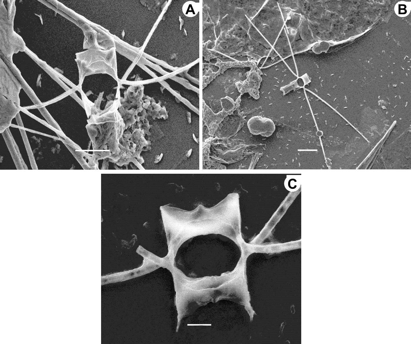 Chaetoceros lorenzianus (SEM, pair of sibling cells in girdle view): A, Scale bar: 10 µm; B, Sibling cells with long setae. Scale bar: 20 µm; C, Sibling valves with wide aperture. Scale bar: 5 µm.