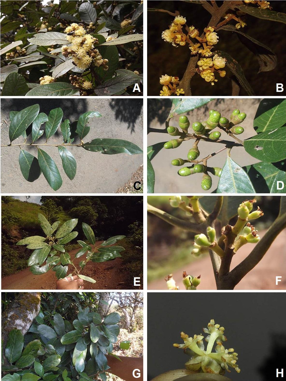 Litsea species in Chikkamagaluru district, Karnataka: A–B, Litsea floribunda; C–D, Litsea sotockssi; E–F, Litsea mysorensis; G–H, Litsea glabrata.