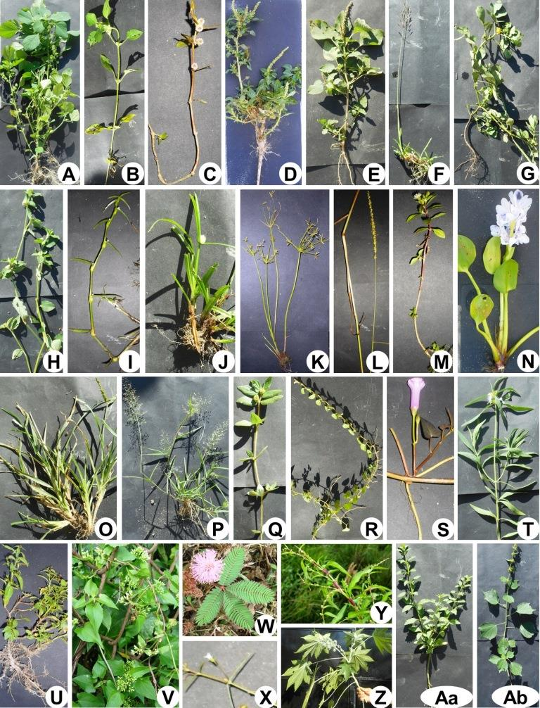 A, Acalypha indica; B, Ageratum conyzoides; C, Alternanthera sessilis; D, Amaranthus spinosus; E, Amaranthus viridis; F, Andropogon ascinoidis; G, Cassia tora; H, Commelina benghalensis; I, Cyanotis axillaris; J, Cyperus bulbosus; K, Cyperus iria; L, Echinochloa colonum; M, Eclipta alba; N, Eichhornia crassipes; O, Eleusine indica; P, Eragrostis viscosa; Q, Euphorbia hirta; R, Evolvulus nummularis; S, Ipomea aquatica; T, Leucas plukenetii; U, Ludwigia octavalvis; V, Mikania micrantha; W, Mimosa pudica; X, Oldenlandia diffusa; Y, Persicaria hydropiper; Z, Ricinus communis; Aa, Scoperia dulcis; Ab, Urena lobata.