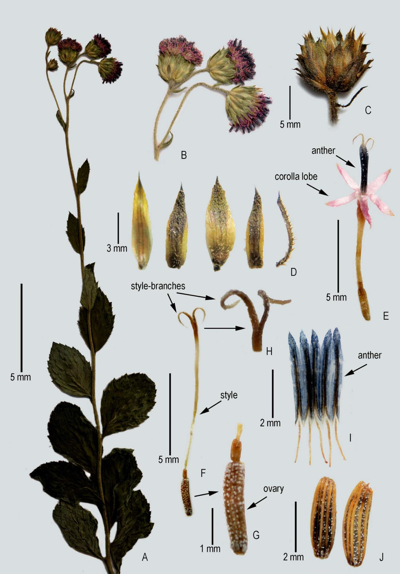 Adenoon indicum Dalzell: A, Habit; B, Heads; C, Involucre; D, Phyllaries; E, Floret; F, Gynoecium; G, Close-up of ovary; H, Close-up of style apex; I, Stamens; J, Achenes