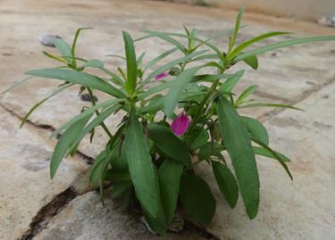 Hybanthus enneaspermus (L.) F. Muell. in natural habitat