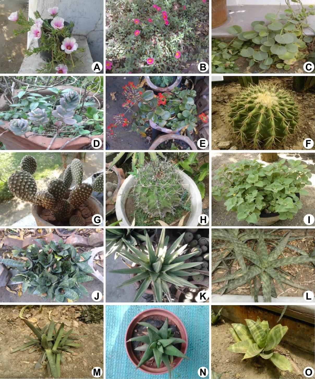 Photographs of some succulents: A, Portulaca pilosa Linn. Spp. Grandiflora(Hook.) Gesink; B, Portulaca pilosa L.; C, Cissus rotundifolia Vahl; D, Bryophyllum fedtschenkoi (Raym.-Hamet & H.Perrier) Lauz.-March; E, Kalanchoe blossfeldiana Poelln; F, Echinocactus grusonii Hildm; G, Opuntia microdasys (Lehm.) Pfeiff.; H, Ferocactus peninsulae (A.A.Weber) Britton & Rose; I, Plectranthus amboinicus (Lour.) Spreng; J, Aechmea fasciata (Lindl.) Baker.; K, Agave victoriae-reginae T.Moore Gard.; L, Aloe maculata All.