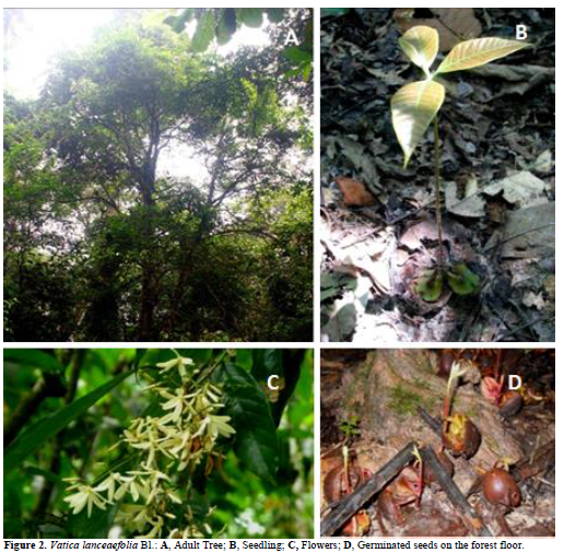 Figure 2. Vatica lanceaefolia Bl.: A, Adult Tree; B, Seedling; C, Flowers; D, Germinated seeds on the forest floor.