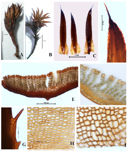 Pogonatum perichaetiale subsp. thomsonii: A, Plant in dry condition; B, Plant in wet condition; C, Leaves; D, Apical margin of Leaf; E & F, Cross sections of leaves showing Lamellae; G, Apical cells of leaf; H, median cells of leaf; I, basal cells of leaf.