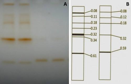 Zymogram pattern of leaf isoperoxidases: <strong>A, </strong><em>Cajanus cajan</em>; <strong>B, </strong> <em>Cajanus scarabaeoide</em>s.