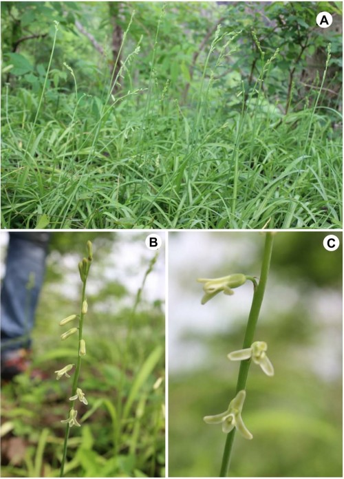 Photographs of <em>Depcadi saxorum</em> Blatter: <strong>A, </strong> Habit; <strong>B, </strong> Inflorescence; <strong>C, </strong> Flowers.