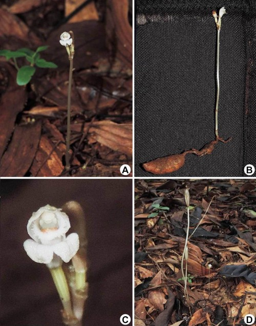 <em>Didymoplexis micradenia</em>, urban forest of Universitas Indonesia, Depok, West Java. <strong>A</strong>, Flowering individual; <strong>B</strong>, Plant showing the tuber; <strong>C</strong>, Close up of flower; <strong>D</strong>, Plant in fruiting stage (Photograph: Wendy A. Mustaqim).