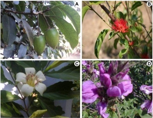 Some of the collected plants from the study area: <strong>A, </strong> <em>Mimusops kummel</em> A. DC.; <strong>B, </strong> <em>Combretum paniculatum</em> Vent.; <strong>C, </strong> <em>Rothmannia urcelliformis</em> (Hiem) Robyns; <strong>D, </strong> <em>Acanthus polystachius</em> Delile.