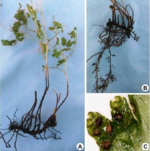 Morphology of <em>Lygodium hazaricum</em> Haq: <strong>A, </strong> Full plant; <strong>B, </strong> Rhizome and rhizoid; <strong>C, </strong> Sporangia on leaf margin.