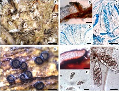 Endemic lichens of <em>Graphidaceae</em> in Andhra Pradesh, India: <strong>(A–D), </strong><strong><em>Fissurina capsulata </em></strong>Makhija & Adaw.; <strong>(E–H), </strong> <strong><em>Thecaria austroindica </em></strong>(D. D. Awasthi & Upreti) K. P. Singh & G.P Sinha.<em></em>