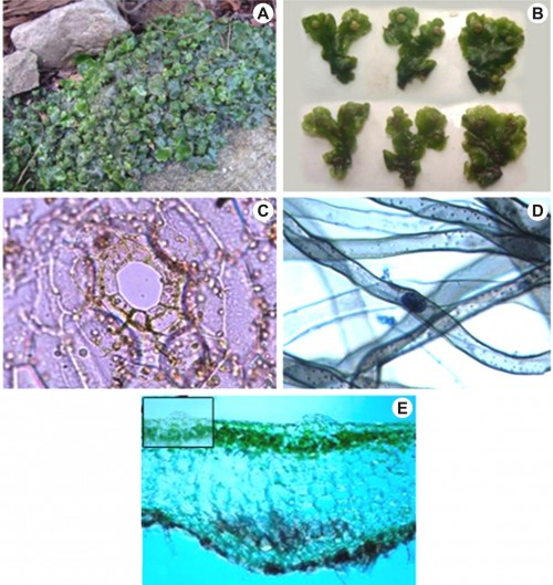 <strong>A,</strong> Patch of <em>Wiesnerella denudata</em> growing on epilithic habitat; <strong>B,</strong>  Thalli in dorsal and ventral view; <strong>C,</strong> Whole mount of epidermal peeling showing air pore; <strong>D,</strong> Whole mount of smooth walled and tuberculated rhizoids showing hyphal strands and a vesicle; <strong>E,</strong> V.S. of thallus showing upper photosynthetic and lower storage zone (Inset- Notice raised air pore).