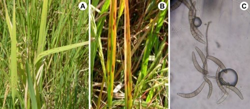 Helminthosporium oryzae adalah. Toxine botulique yeux