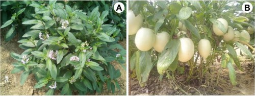 Pepino (<em>Solanum muricatum</em> Aiton) under Lucknow conditions:<strong> A,</strong> Flowering; <strong>B,</strong> Fruiting.