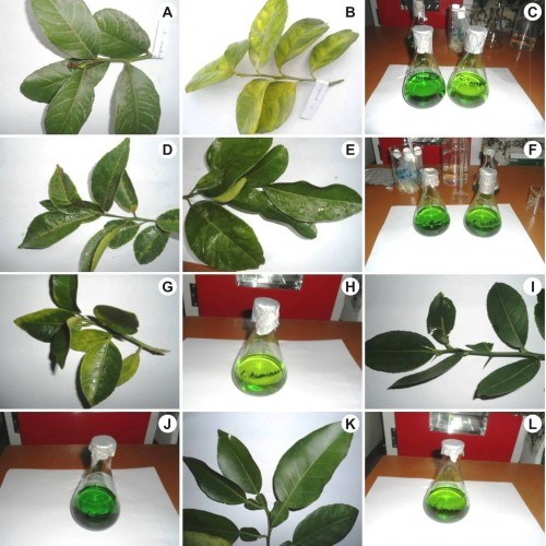 Leaves and their chlorophyll extraction of several <em>Citrus species</em> in acetone solution.