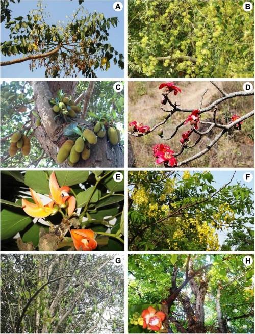<strong>A</strong>, <em>Ailanthus excelsa</em> Roxb.; <strong>B</strong>, <em>Anogeissus acuminata</em> (Roxb. ex DC.) Guill. & Seneg.; <strong>C</strong>, <em>Artocarpus heterophyllus</em> Lam.; <strong>D</strong>, <em>Bombax ceiba</em> L.; <strong>E</strong>, <em>Butea monosperma</em> (Lam.) Taub.; <strong>F</strong>, <em>Cassia fistula</em> L.; <strong>G</strong>, <em>Ceiba pentandra</em> (L.) Gaertn.; <strong>H</strong>, <em>Couroupita guinensis</em> Aubl.