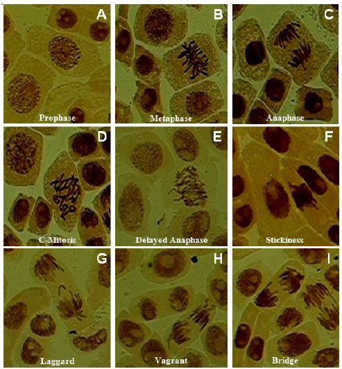 Allium cepa root tip cells treated with different soil samples showing spectrum of aberrations: A–C, Normal stages of cell division; D–I, Different types of chromosomal aberrations.