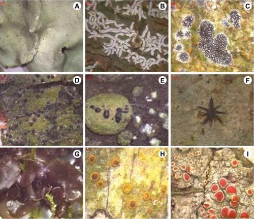 <strong>A</strong>, Foliose thallus of <em>Parmotrema crinitoides</em>; <strong>B</strong>, Corticolous thallus of <em>Phaeographina caesioradians</em>; <strong>C</strong>, Corticolous thallus of <em>Phaeographis platycarpa</em>; <strong>D</strong>, Corticolous thallus of <em>Pseudopyrenula pupula</em>; <strong>E</strong>, Follicolous thallus of <em>Strigulaelegans</em>; <strong>F,</strong> Follicolous thallus of <em>Trichothelium annulatum</em>; <strong>G</strong>, Corticolous thallus of <em>Collema pulcellum</em>; <strong>H</strong>, Corticolous thallus of <em>Letroutia transgressa</em>; <strong>I</strong>, Corticolous thallus of <em>Haemotomma puniecium</em>
