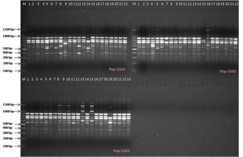 Band profile generated by ISSR primer PCP1 in 3 populations of <em>Calamus guruba </em>Buch.-Ham. ex Mart.