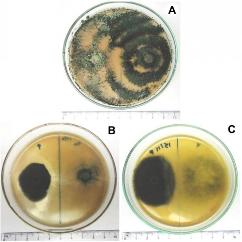Endophytes and <em>Bipolaris oryzae</em> in dual culture showing antagonism colonies.