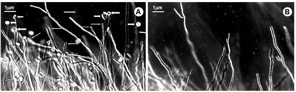 Light micrographs of B. cinerea hyphae: A, after incubation with crude protein extracts (Note the swollen (narrow arrows) and lysed (wide arrows) hyphal tips with the banana pulp extract); B, after incubation with extraction buffer.