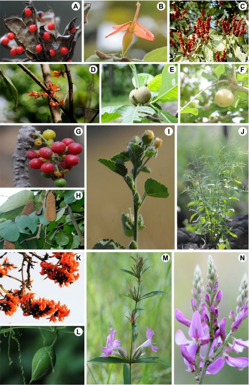 Some medicinal plants of Chandra Prabha Wildlife Sanctuary: <strong>A</strong>, <em>Abrus precatorious</em> L.; <strong>B</strong>, <em>Helicteres isora</em> L.; <strong>C</strong>, <em>Mallotus philippensis</em> (Lam.) Mull. Arg.; <strong>D</strong>, <em>Woodfordia fruticose</em> (L.) Kurz; <strong>E</strong>, <em>Gardenis latifolia</em> Sol.; <strong>F</strong>, <em>Aegle marmelos</em> (L.) Correa; <strong>G</strong>, <em>Tinospora cordifolia</em> (Willd.) Miers; <strong>H</strong>, <em>Bauhinia vahlii</em> Wight & Arn; <strong>I</strong>, <em>Sida cordifolia</em> L.; <strong>J</strong>, <em>Andrographis paniculata</em> (Burm. F.) Nees; <strong>K</strong>, <em>Butea monosperma</em> (Lam.) Taub.; <strong>L</strong>, <em>Trichosanthes cucumerina</em> L.; <strong>M</strong>, <em>Barleria cristata</em> L.; <strong>N</strong>, <em>Indigofera cassoides</em> Rottler ex DC.