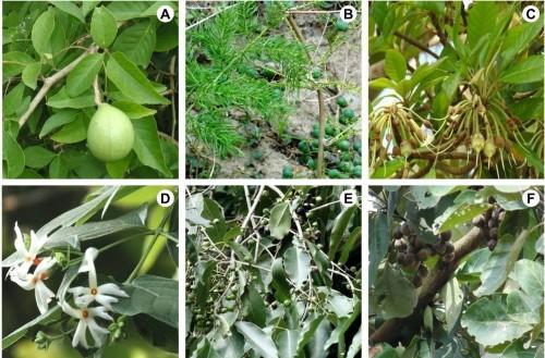 Some medicinal plant species of Kuldiha Wildlife Sanctuary: <strong>A</strong>, <em>Aegle marmelos</em> (L.) Corr.; <strong>B</strong>, <em>Asparagus racemosus</em> Willd.; <strong>C</strong>, <em>Madhuca indica</em> Gmel.; <strong>D</strong>, <em>Nyctanthes arbor-tristis</em> L.; <strong>E</strong>, <em>Syzygium cumini</em> (L.) Skeels; <strong>F</strong>, <em>Terminalia bellirica </em>(Gaertn.) Roxb.