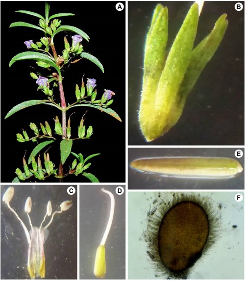<em>Hygrophila madurensis</em><strong></strong>(N. P. Balakr. & Subram.) Karthik. & Moorthy: <strong>A,</strong> Flowering twig; <strong>B, </strong>Calyx; <strong>C,</strong> Stamens; <strong>D, </strong>Ovary; <strong>E, </strong>Capsule; <strong>F,</strong> Seed close up.