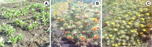Safflower (<em>Carthamus tinctorius</em> L.): <strong>A,</strong> Vegetative stage; <strong>B, </strong>Orange flowers; <strong>C,</strong> Yellow flowers.