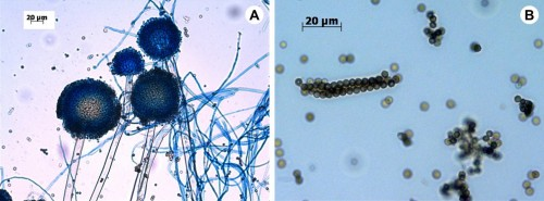 Vegetative and asexual reproductive structures of<em> Aspergillus niger</em>:<strong> A</strong>,<strong> </strong>Mycelia with conidiophores;<strong> B</strong>, Condia.