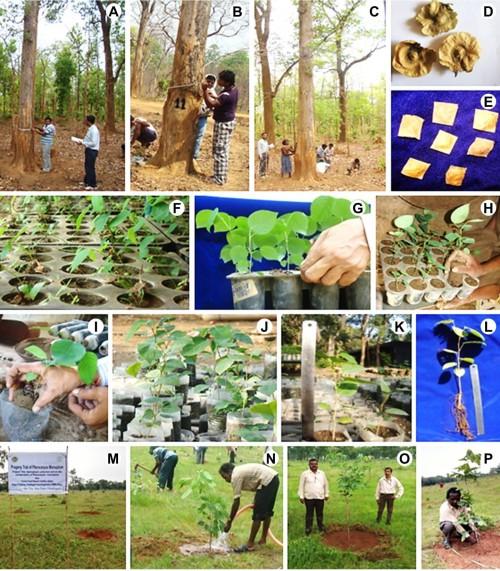 Selection, germination and progeny trial of <em>Pterocarpus marsupium </em>Roxb.
