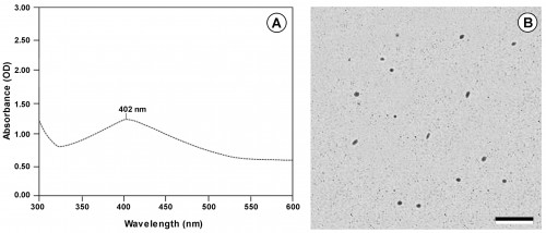 <strong>A</strong>, UV-Vis absorption spectrum of AgNPs synthesized using the aqueous extract of <em>Cladonia rangiferina</em> (L.) Weber ex F.H. Wigg.; <strong>B</strong>, TEM image of <em>Cladonia rangiferina</em>-AgNPs obtained after 72 h of the reduction reaction, (Scale = 1 μm).