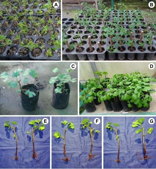 Macro-propagation of <em>Gingo biloba</em> L.: <strong>A–B</strong>,<strong></strong>Stem cuttings in hycotrays (top view & side view); <strong>C–D</strong>,<strong></strong>Stem cuttings in plantation bags (Male & Female); <strong>E–G</strong>,<strong></strong>Profuse rooting after six months in stem cuttings.