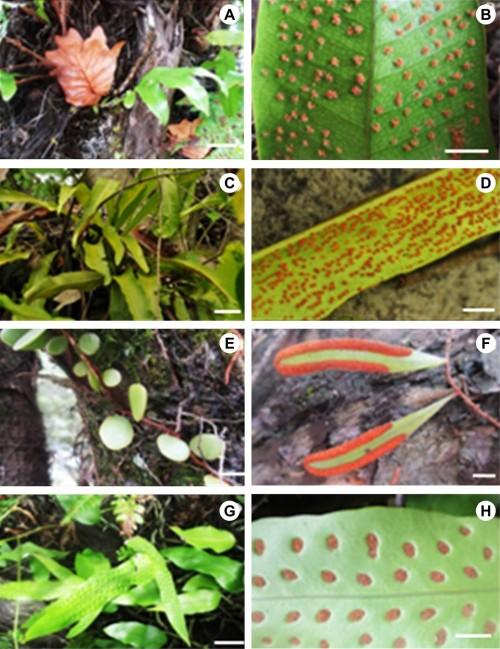 Polypodiaceae species from Riau coastal area (Left- Habitus, Right- Mature leaves showing sori): <strong>A–B</strong>, <em>Drynaria sparsisora</em>; <strong>C–D</strong>, <em>Microsorum punctatum</em>; <strong>E–F</strong>, <em>Pyrrosia piloselloides</em>; <strong>G–H</strong>, <em>Phymatosorus scolopendria</em>. [Scale bars: A, C & G = 5 cm; B, D, E, F & H = 1 cm]