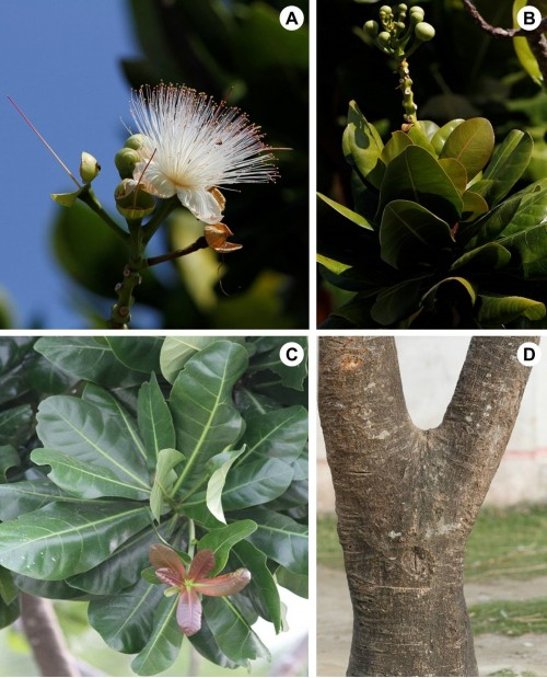 <em>Barringtonia asiatica </em>(L.) Kurz: <strong>A</strong>, Flower; <strong>B</strong>, Inflorescence with buds; <strong>C</strong>, Mature and young leaves; <strong>D</strong>, Tree trunk.