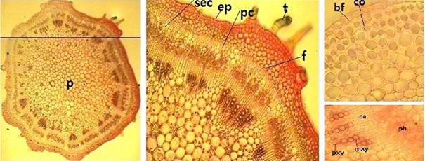 Stem transverse section of Vigna radiata L., ML2017 genotype (objective X10, X40). [p: Pith, sec: Secretory cell, ep: Epidermis, pc: Cortex parenchyma, t: Trichome, f: Pericyclic fiber, bf: Buliform, co: Collenchyma, ca: Cambium, ph: Phloem, pxy: Protoxylem, mxy: Metaxylem]
