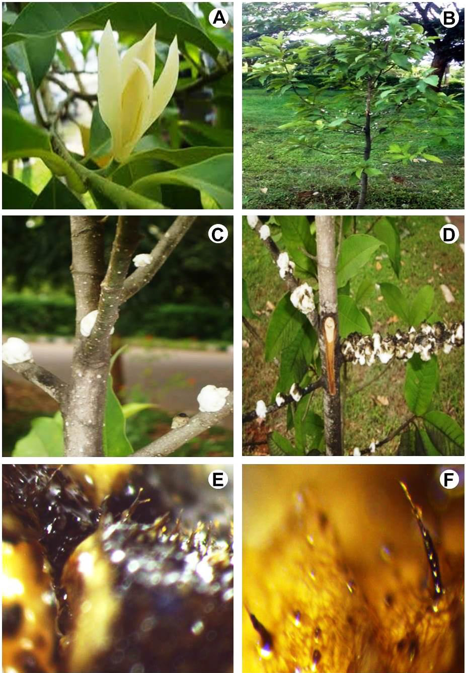 Stem gall of Michelia champaca L. (Magnoliaceae) induced by Podothrips sp.